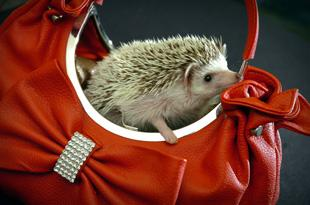 Hedgehogs are the latest must-have accessory for many fashionistas   Picture: Nick Jones n094989