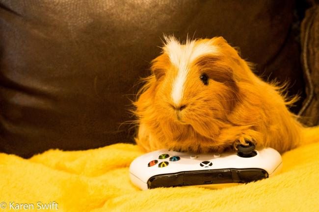 A guinea pig enjoys some down time on the XBox. Image: Karen Swift
