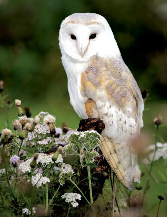 Have you spotted a barn owl?