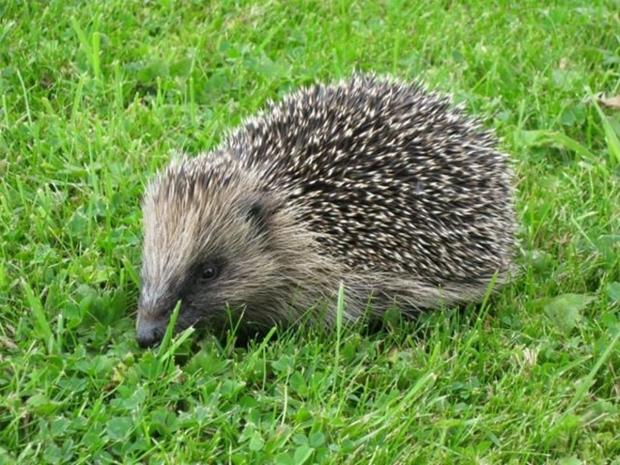 Faye spotted a hedgehog enjoying her gardening skills
