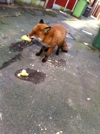 The Barnton fox tucks into some cake.