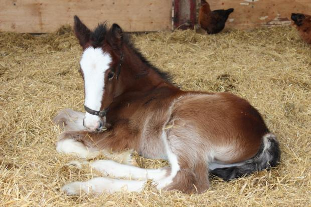 This filly foal was born at Cotebrook Shire Horse Centre on February 2 to their mare Sunbeam.