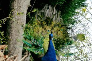 Woolwich peacock STILL on the run after fleeing 'bullies'