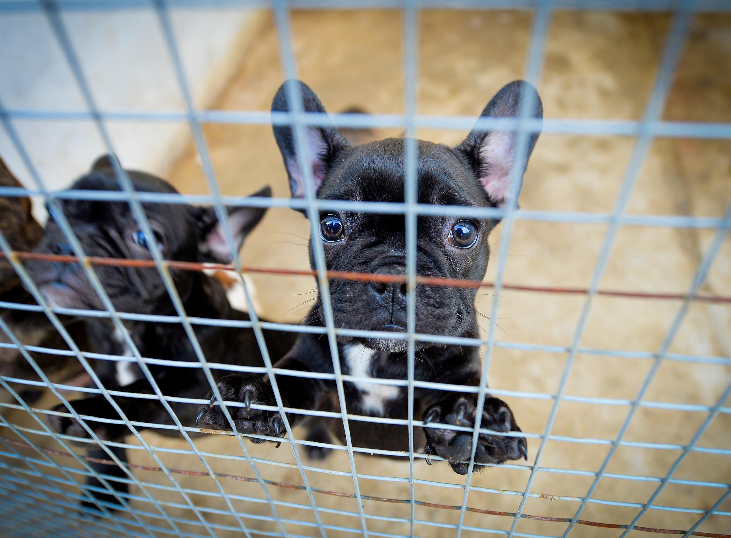 Record number of smuggled puppies saved ahead of Christmas
