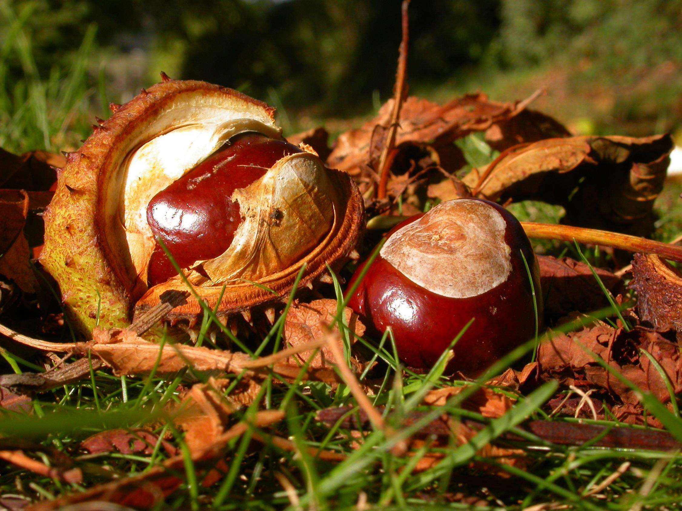 The heatwave has affected the number of conkers
